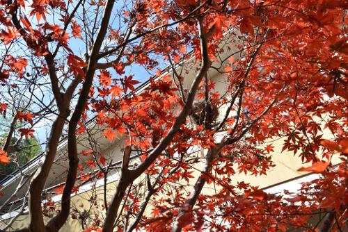 紅葉と鳥の巣
